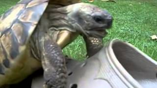 ★A turtle makes love with crocs shoe★