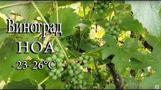 Гибридный сорт винограда Ноа   -23-26°С