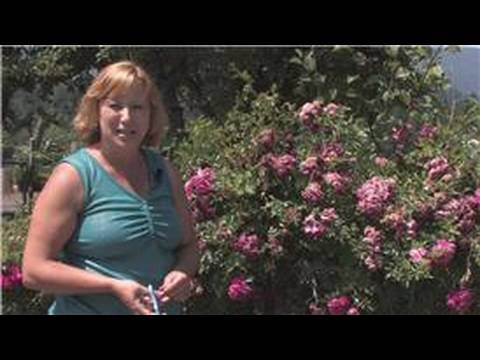 Rose Gardening How To Prune A Knock Out Rose Bush Youtube