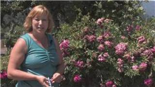 Rose Gardening : How to Prune a Knock Out Rose Bush