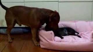 Staffordshire Bull Terrier スタッフォードシャー・ブル・テリア Engli...
