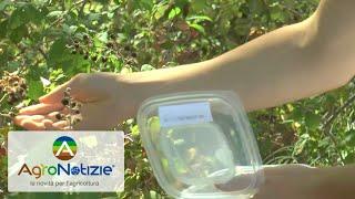 Drosophila suzukii: il suo nemico in campo