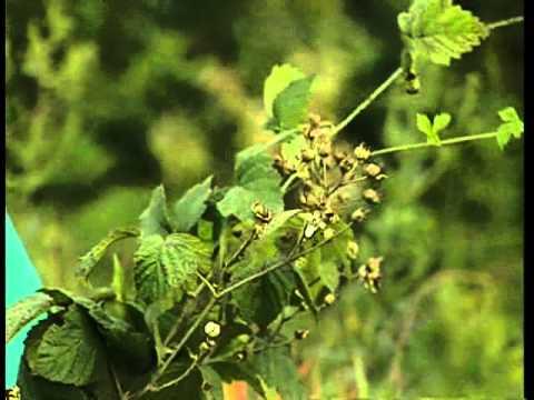 Rubus fruticosus (Ежевика)