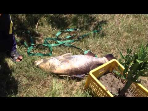 เย่อกับปลา(เย่อกระพง15โล มันใหญ่มาก)