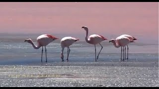 Flamingo Dances Wagner