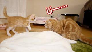 対面で見つめ合う短足猫と新入り猫がこちら