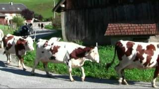 Cows Walking to the Valleys for the Winter, French Alps, France