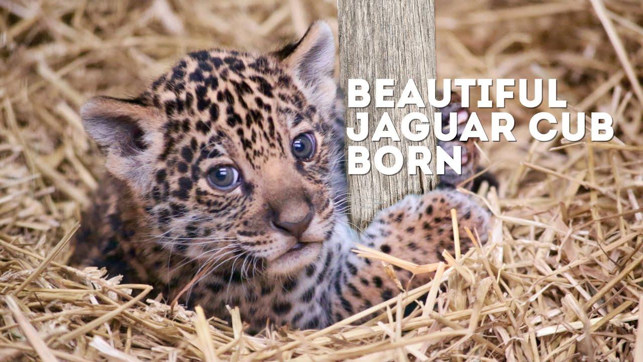 Beautiful Jaguar Cub Born At Paradise Wildlife Park! - YouTube