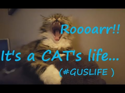 Rescue Maine Coon Cat 'Gussy' Relaxing