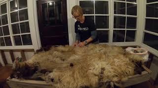 Skirting Icelandic Sheep Fleece