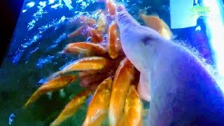 TAME KOI FROM NATURAL POND | FIRST YEAR UPDATE | YAMABUKI IN AQUARIUM FED BY HAND BABY FISH KEEPING