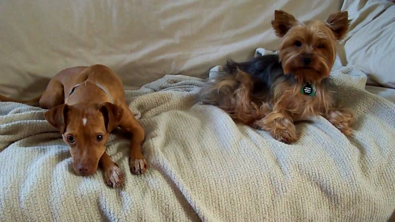 Golden Retriever Yorkie And Min Pin Mix Youtube