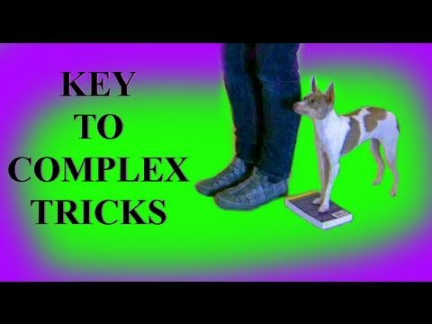 Rear end awareness  the key to complex dog tricks