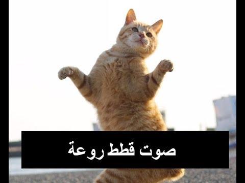 صوت قطة شرسة