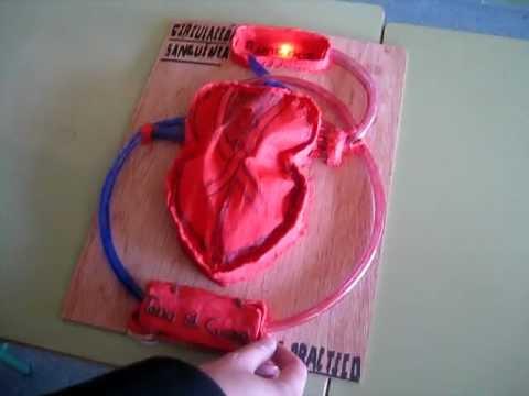Modelo de corazón humano (alumnos 3ºESO Diversificación) - YouTube