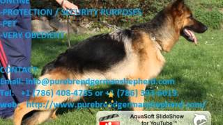 Well Trained German Shepherds/ Puppies Online