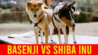 Shiba Inu Vs Basenji Dog Breeds, Which Is Better For You?