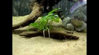 Aquarium Stand Driftwood Plants Update #4