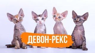 ДЕВОН-РЕКС - ФАКТЫ О ПОРОДЕ ДЕВОН-РЕКС