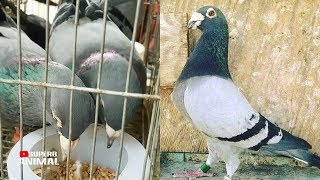 Racing Homer Pigeon Eating Foods | Homer Pigeons | Fancy Pigeon Breeds | Superb Animal