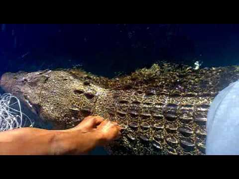Buaya terkena  jaring  nelayan Bontang