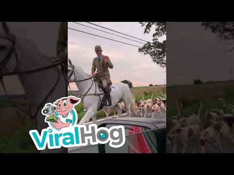 Fox Hunt During Morning Commute In Maryland || ViralHog
