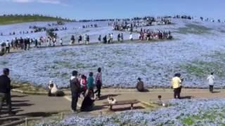 ひたち海浜公園〜〜ネモフィラの丘ほか ネモフィラの丘 検索動画 15