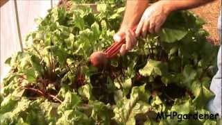 Growing in Soil - It's Hard to Beet  :-)