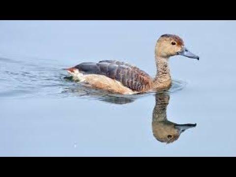 masteran burung belibis dengan terapi air untuk love bird arialika kicauan