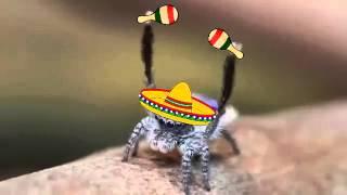 Conga Peacock Spider