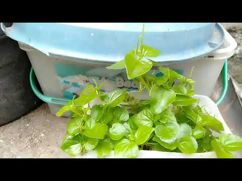 Pepperomia pellucida or pansit-pansitan used and health benefits