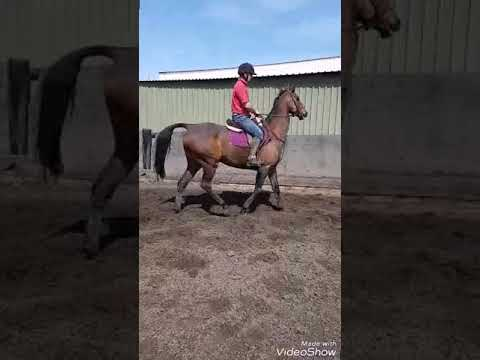 brilliant big allrounder gelding