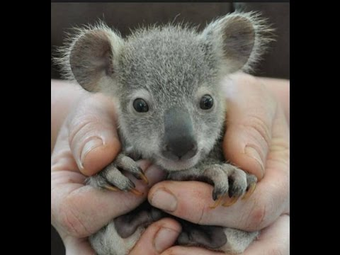 Baby koala bear model of a day old and 6 months old youtube - Pictures of koalas and baby koalas ...