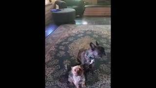 Yogi Dogs