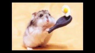 Śmieszne Chomiki - Funny Hamster
