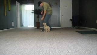 Cape Coral - Fort Myers In Home Puppy Training -s Http://aztecdogrtraining.com/