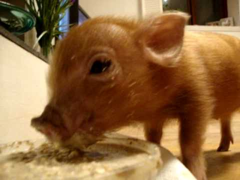 when can baby pigs eat solid food