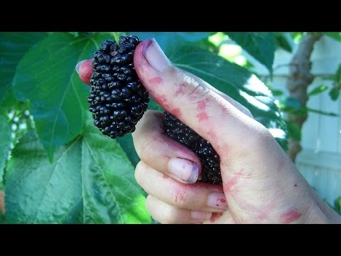 Шелковица (Тутовое дерево), (Morus). Описание, виды и
