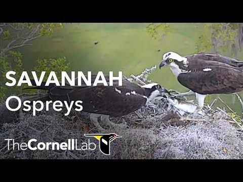 Savannah Ospreys Fixed Cam