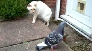 Странная реакция голубя на кота