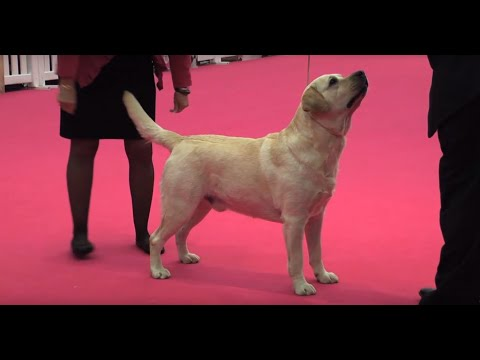 Labrador Retriever - Bests of Breed
