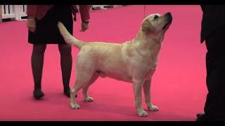 Labrador Retriever - Bests of Breed