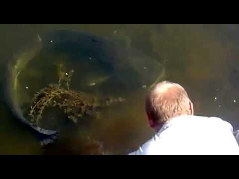 Видео, Гигантская ручная рыба мутант в ПрипятиGiant hand mutant fish in PripyatОтменить измененияAlphaЭтот
