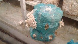 Коралловые примордии
