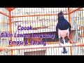 Kacer Gacor Bikin Lawan Langsung Emosi Dan Konslet Cocok Buat Memancing Emosi Lawan  Mp3 - Mp4 Download