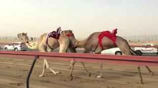 Dubai Camel Race Ride-along