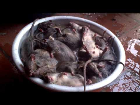 Làm thịt chuột Phú Xuyên-Hà Tây Rat meat in Vietnam