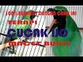Cara Terapi Cucak Ijo Macet Bunyi  Mp3 - Mp4 Download