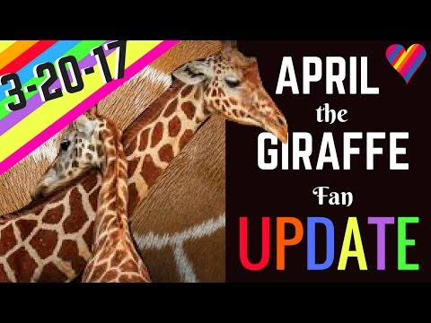Thumbnail: APRIL the GIRAFFE UPDATE 3-20-17: Labor Signs/Physical Changes! Birth is SO Near!