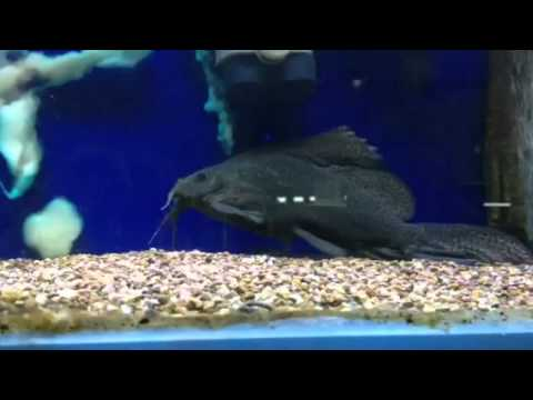 Gibbiceps catfish are a must in any tropical aquarium for Fish tank catfish